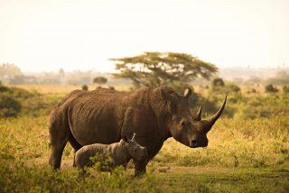 Popolazione rinoceronti in aumento in Nepal
